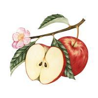 Illustration de pomme rouge