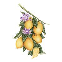 Illustrationszeichnungsart der Zitrone