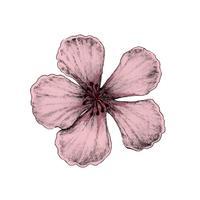 Illustration av körsbärsblomning