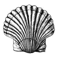 Hand drawn scallop saltwater clams