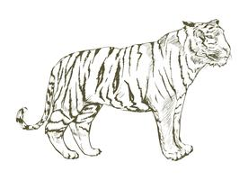 Illustration ritning stil av tiger