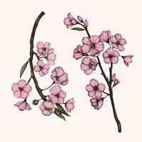 Ilustração, de, flor cereja