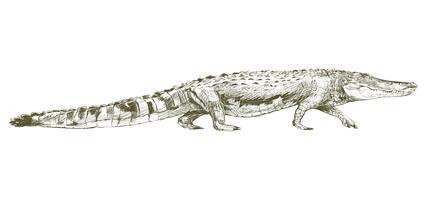 Stile di disegno dell'illustrazione di alligatore