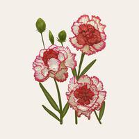 Illustratietekening van Dianthus caryophyllus