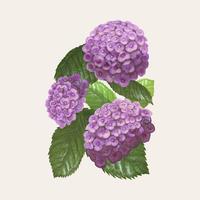 Illustratietekening van Hydrangea