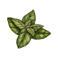 Illustration of fresh mint leaves