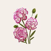 Illustrationsritning av Dianthus caryophyllus