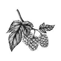 Lúpulo desenhado à mão, aromatizante e agente de estabilidade em cerveja