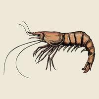 Camarão de mão desenhada isolado