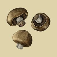 Illustration of three fresh mushrooms