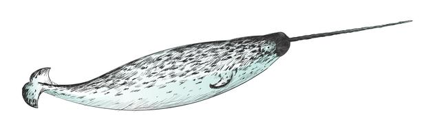 Illustration drawing style of narwhal