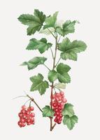 Pianta da frutto ribes rosso