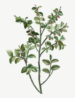 Arbusto de arándanos europeo