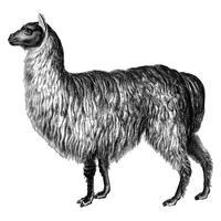Vintage illustrationer av Alpaca