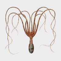 Den gemensamma bläckfisken (Octopus vulgaris) illustrerad av Charles Dessalines D 'Orbigny (1806-1876). Digitalförstärkt från vår egen 1892-upplaga av Dictionnaire Universel D'histoire Naturelle.