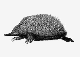 Disegno sfumato anteater