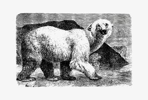 Disegno dell'ombra dell'orso bianco