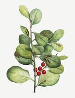 Planta de arándanos rojos