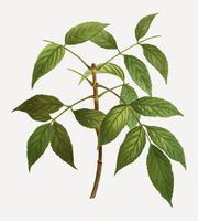 American ash tree