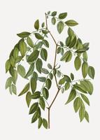 Jujube tree branch