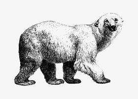 Vita björnskuggningsteckning