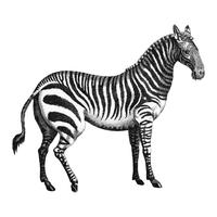 Vintage illustrations of Zebra