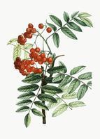 Mountain ash plant