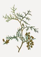 Northern white-cedar branch