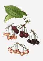 Varias especies de cerezas.