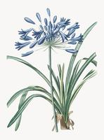 Vintage Illustration of African lily