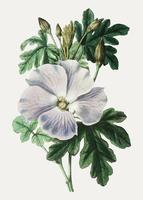 Hibisco blanco