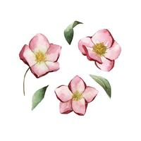 Hellebore-Blumen gemalt durch Aquarellvektor