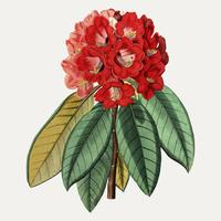 Ceylon rododendron