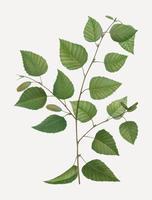 Albero di betulla di carta