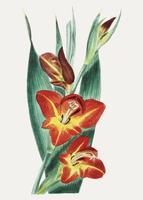 Parrot gladiole