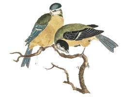 Vintage illustration of a Blue Tit and a Great Tit