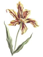 Vintage illustration of a tulip