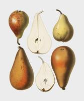 A vintage chromolithograph of fresh pears printed in 1887, by Samuel Berghuis. Digitally enhanced by rawpixel.