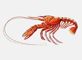 Scarlett clawed lobster