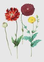 Poppy in vintage style