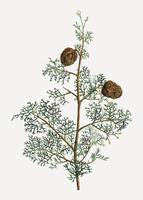Mediterrane Zypressenpflanze