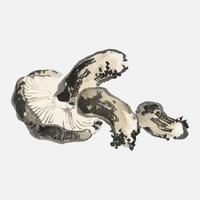 Champignon Shitake de K? No Bairei (1844-1895). Amélioré numériquement de notre propre édition originale de 1913 de Bairei Gakan.