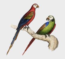 Scarlet and Green Macaw from Oeuvres complètes de Buffon (1860). Digitaal verbeterd door rawpixel.