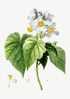 Blommande Sparmannia Africana blommor
