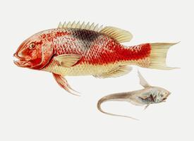 Hogfish und ein Rochenfisch
