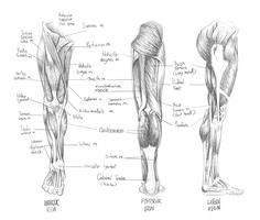 Sketch of Muscular System