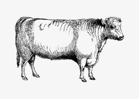 Shorthorn bull shade teckning