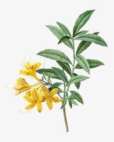 Azalea amarilla floreciente