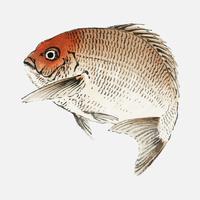 Poisson Tai (Daurade Rouge) de K? No Bairei (1844-1895). Amélioré numériquement de notre propre édition originale de 1913 de Bairei Gakan.