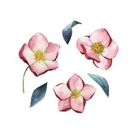 Hellebore flowers painted by watercolor vector